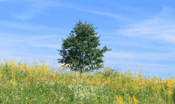 Lonely-Tree_White-Yellow-Flowers-Field_Blue-Sky__IMG_3854_cr-580x345
